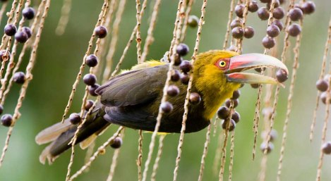 Araçari-banana (Pteroglossus bailloni)