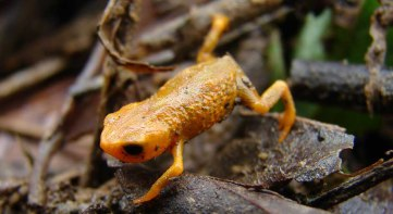 Brachycephalus tridactylus